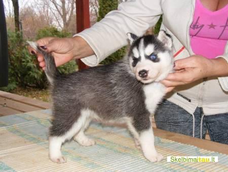 Sibiro haskis šuniukai priėmimo
