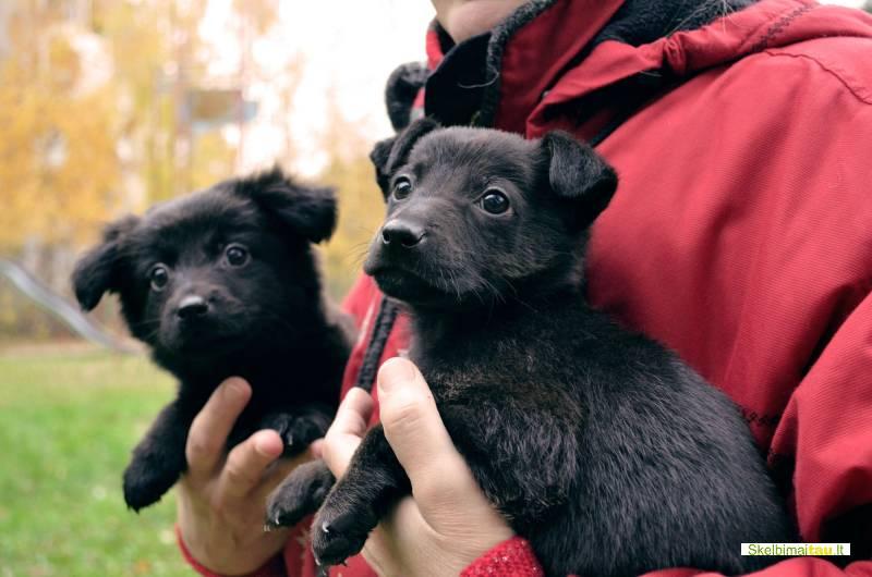 Dovanojamas 1,5 mėn. šuniukas lobis su ypatinga istorija