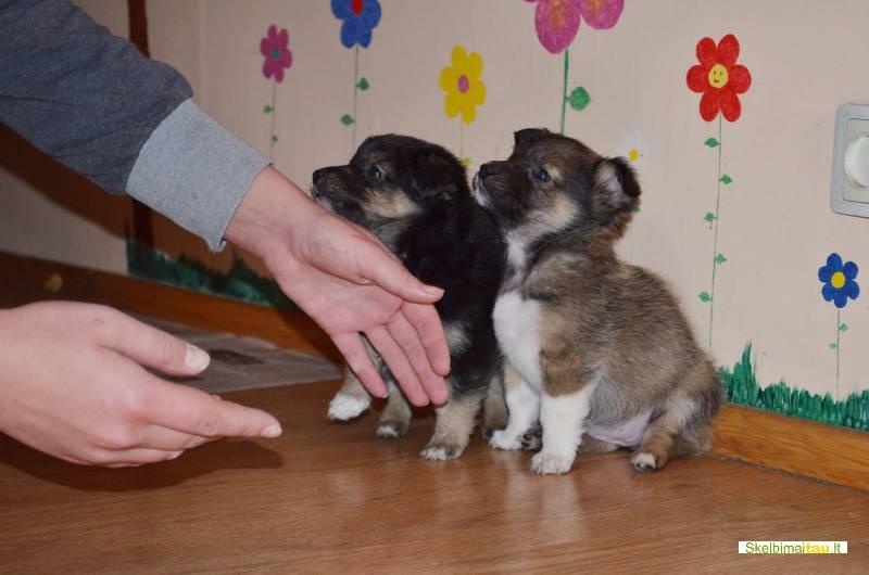 Dovanojami 1,5 mėn. puikūs žemaūgiai šuniukai